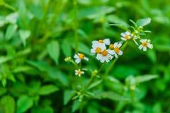 Fleurs de Camomiles Images libres de droits
