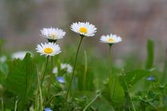 Fleurs de camomille Photos libres de droits