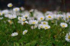 Fleurs de camomille Photographie stock libre de droits
