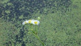 Fleurs de camomille banque de vidéos