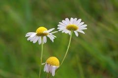 Fleurs de camomille Images stock