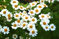 Fleurs de camomille Photographie stock