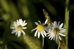 Fleurs de camomille Images libres de droits
