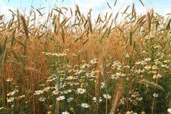 Fleurs de camomille Image libre de droits