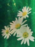 Fleurs de camomille Photos stock