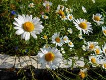 Fleurs de camomille blanche et jaune sur le champ vert photographie stock