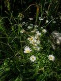 Fleurs de camomille blanche et jaune sur le champ vert photo stock