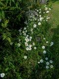 Fleurs de camomille blanche et jaune sur le champ vert images stock