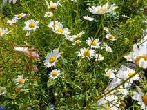 Fleurs de camomille blanche et jaune sur le champ vert photo libre de droits