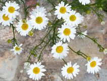Fleurs de camomille Champ de floraison de camomille Camomille de marguerite comme CCB Images libres de droits