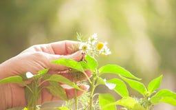 Fleurs de camomille chez la main de la femme Photos libres de droits