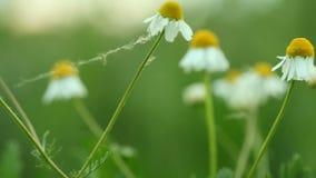 fleurs de camomille de camomille Plein HD avec le glisseur motorisé 1080p clips vidéos