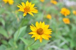 Fleurs de camomille jaune Images libres de droits