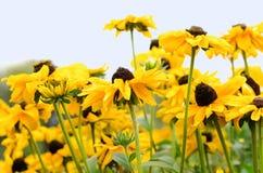 Fleurs de camomille jaune contre le ciel Images libres de droits
