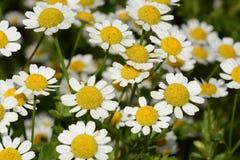 Fleurs de camomille ou de camomille Photographie stock