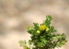 Fleurs de camomille sauvage Photo libre de droits