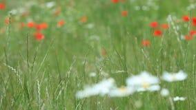 Fleurs de camomille sur le pré clips vidéos
