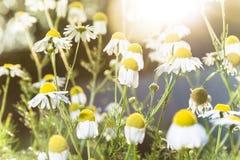 Fleurs de camomille sur Sunny Day photographie stock libre de droits