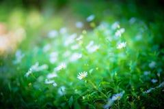 Fleurs de camomilles fleurissant dans le domaine photo libre de droits