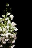 Fleurs de Campanula Photo libre de droits