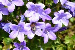 Fleurs de campanule avec des feuilles Image libre de droits