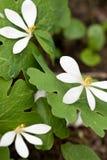 Fleurs de canadensis de Sanguinaria Photographie stock libre de droits