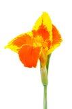Fleurs de Canna d'isolement Photographie stock