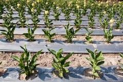 Fleurs de Canna plantées Photographie stock libre de droits