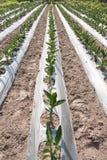 Fleurs de Canna plantées Images libres de droits