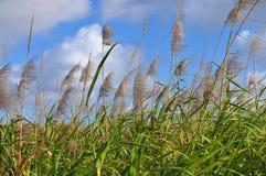 Fleurs de canne à sucre Images stock