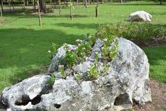Fleurs de Catharanthus sur les roches Image stock