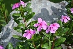 Fleurs de Catharanthus sur les roches Photo libre de droits