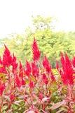 Fleurs de Celosia Images libres de droits