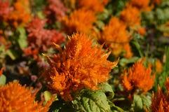 Fleurs de Celosia Photo stock