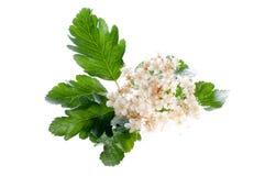 Fleurs de cendre de montagne Photo stock
