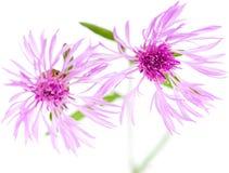 Fleurs de Centaurea d'isolement sur le fond blanc Photo libre de droits