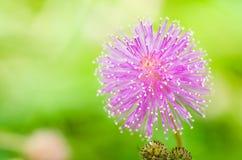 Fleurs de centrale sensible dans la nature verte Image libre de droits