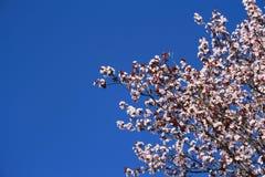 Fleurs de cerise photographie stock libre de droits