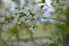 Fleurs de cerise Images libres de droits