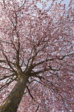 Fleurs de cerise au printemps Images stock