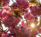 Fleurs de cerise avec le lever de soleil regardé fixement Photo stock