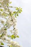 Fleurs de cerise blanches Image libre de droits