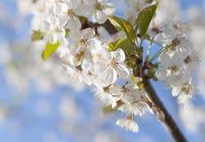 Fleurs de cerise blanches Photographie stock