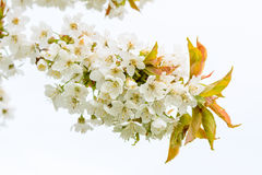Fleurs de cerise blanches Photos stock