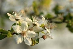 Fleurs de cerise blanches Photos libres de droits
