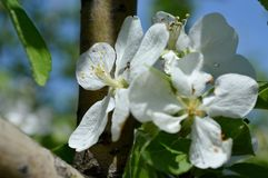 Fleurs de cerise blanches Arbre photographie stock