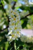 Fleurs de cerise d'oiseau Images stock
