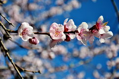 Fleurs de cerise dans la fleur image libre de droits