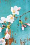 Fleurs de cerise de printemps photos stock