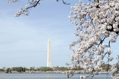 Fleurs de cerise de Washington Photos stock